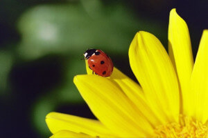beneficial insects: lady bug